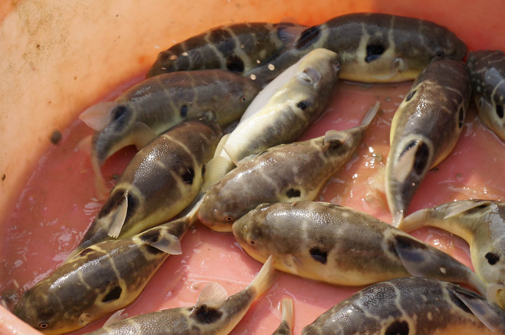 Aquaculture booming in china iowa agribusiness network for Freshwater pond fish